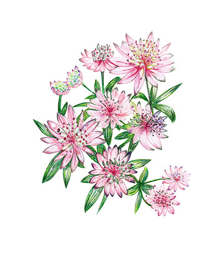 Pencil flowers Pink